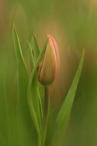 Valerie Interligi - Another Tulip - Salon Color 1st Place